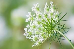 Ammi Flower