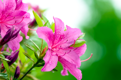 Azalea information from flowers azalea mightylinksfo
