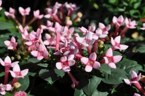 Bouvardia Flower