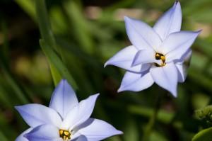 Chincherinchee Flower