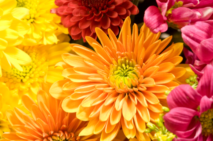 Chrysanthemum information from flowers chrysanthemum chrysanthemum flower mightylinksfo