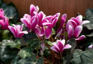 Cyclamen flower