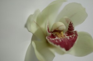 Cymbidium Flower