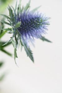 Eryngium Flower