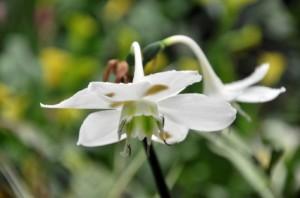 Eucharis flower
