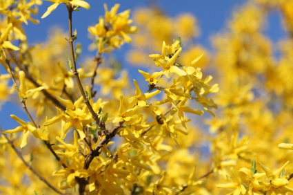 Forsythia Information From Flowers Org Uk