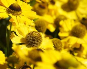 Helenium_flower