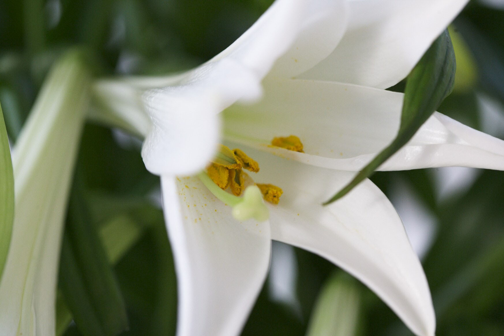 Lily Information From Flowers Org Uk
