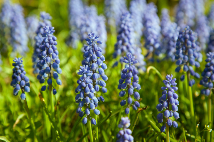 Muscari Information From Flowers Org Uk