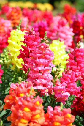 Gardens, Snapdragon Flower, Pretty Things, Snap Dragons, Snapdragon ...