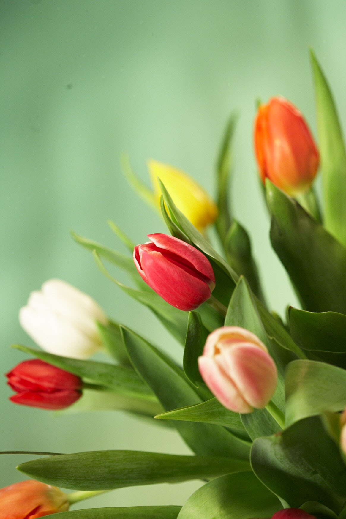 tulip information from flowers.uk, Beautiful flower