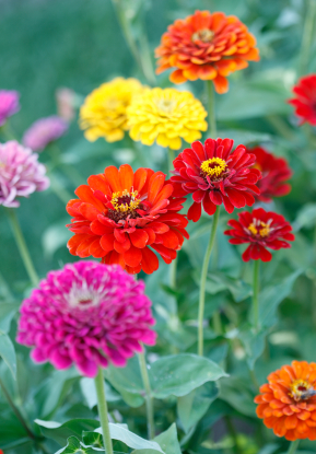Zinnia Information From Flowers Org Uk
