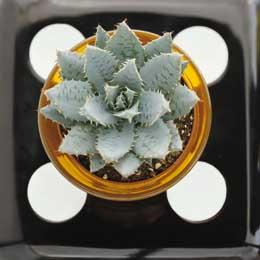 Aloe mitri modern