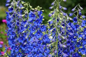 Delphinium information from Flowersorguk