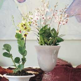 Dendrobium Boudoir Chic