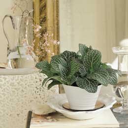 Neutral and Natural fittonia