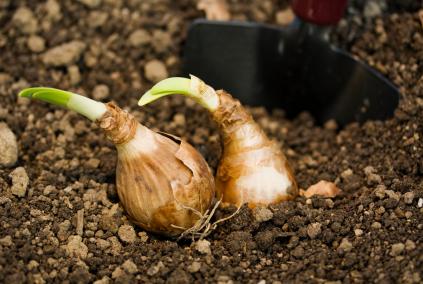 garden bulbs. Daffodil Bulbs Ready For Planting Garden