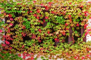Ivy covering a window