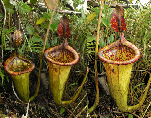 what are the endangered plants in the philippines