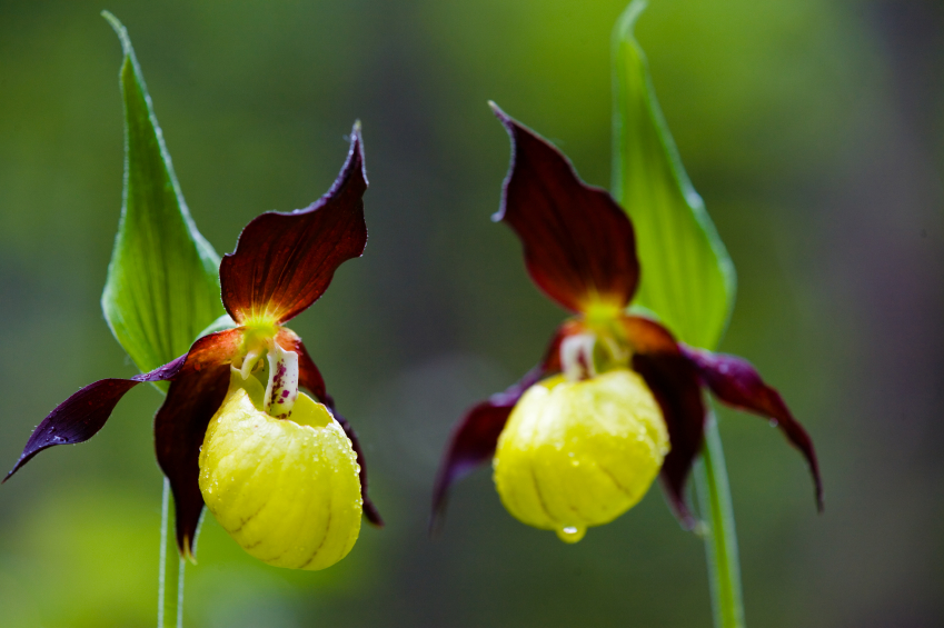 Image result for Yellow and Purple Lady Slippers