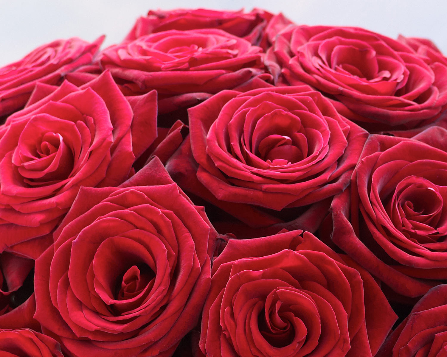 nice types of red roses Part - 5: nice types of red roses photo gallery